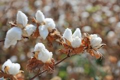 Ripe cotton bolls on branch. Close-up of Ripe cotton bolls on branch Royalty Free Stock Photo