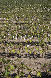 A ripe cotton field. Ready for harvest under sunlight Royalty Free Stock Images