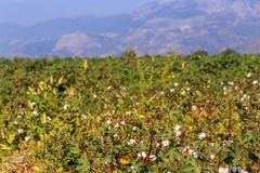 Ripe cotton field 3 Stock Photo