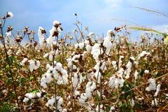 Ripe cotton field Stock Photos