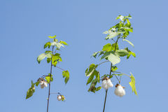 Ripe cotton plant Royalty Free Stock Image