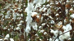 Ripe cotton stock video