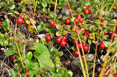 Ripe cowberries on the bushes. Stock Photography