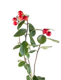 Ripe cowberry Royalty Free Stock Photo