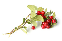 Ripe cowberry on branch with green leaves Stock Photos