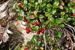 Ripe cowberry. Stock Photo
