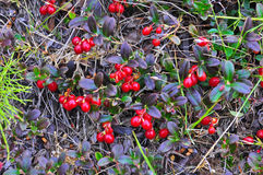 Ripe cowberry. Royalty Free Stock Photo