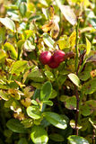 Ripe cowberry Stock Photo