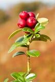 Ripe cowberry Stock Photos