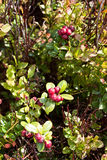 Ripe cowberry Royalty Free Stock Photography