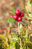 Ripe cowberry Stock Photo