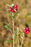 Ripe cowberry Royalty Free Stock Images