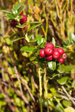 Ripe cowberry Stock Image