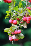 Ripe crab apples Stock Image