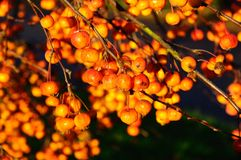 Ripe crab apples on tree. Royalty Free Stock Photo