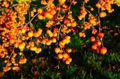 Ripe crab apples on tree. Stock Images