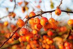 Ripe crab apples on tree. Royalty Free Stock Photography