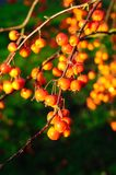 Ripe crab apples on tree. Stock Photos