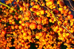 Ripe crab apples on tree. Stock Photo