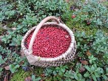 Ripe cranberries Royalty Free Stock Image