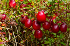 Ripe Cranberries Stock Images