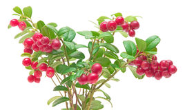 Ripe cranberries on white background Stock Images
