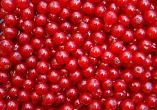 Ripe currant. Stock Images