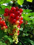 Almost ripe currant cluster Royalty Free Stock Photos