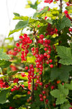 Ripe currants on branch Stock Images