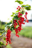 Ripe currants on branch Royalty Free Stock Photography