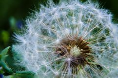 Ripe dandelion Royalty Free Stock Photo