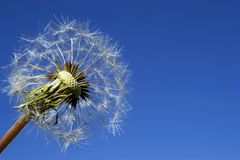 Ripe dandelion on blue sky. Fruits and seeds of a ripe dandelion blown by the wind against a deep blue sky royalty free stock image