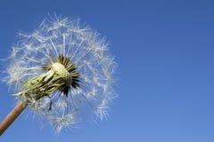 Ripe dandelion on blue sky Royalty Free Stock Photos