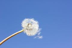 Ripe dandelion on blue sky Stock Images