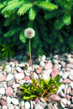 Ripe dandelion with spruce in the background. Stock Photo