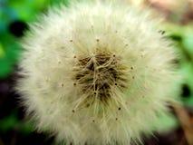 Ripe dandelion  or Taraxacum officinaleon Stock Photos