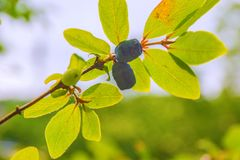 Ripe, dark blue Honeysuckle grows on a Bush all in green leaves. And the rays of sunlight Royalty Free Stock Photo