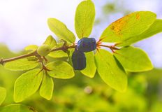 Ripe, dark blue Honeysuckle grows on a Bush all in green leaves. And the rays of sunlight Royalty Free Stock Photos