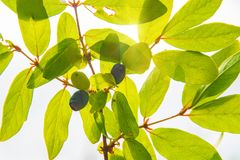 Ripe, dark blue Honeysuckle grows on a Bush all in green leaves. Royalty Free Stock Images