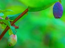 Ripe, dark blue Honeysuckle grows on a Bush all in green leaves. Stock Photos