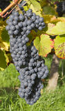Ripe dark blue wine grapes Royalty Free Stock Photo