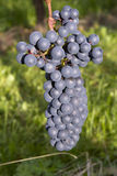 Ripe dark blue wine grapes Royalty Free Stock Image