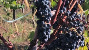 Ripe dark grapes on the vine in a sunny autumn day stock footage