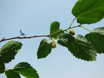 Ripe dark purple Mulberry fruit on tree branch with leaves against blue sky on day light stock photos