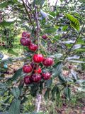 Ripe dark red cherries. Royalty Free Stock Images