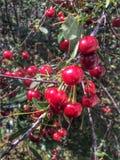 Ripe dark red cherries. Royalty Free Stock Photo