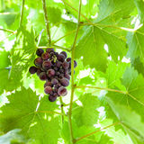 Ripe dark red grapes on vine. In sunny summer day Royalty Free Stock Photo