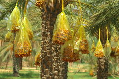 Ripe dates. Bunches of ripe dates on palms, horizontal Stock Photography