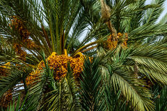 Ripe dates on a palm tree, Morocco. Ripe dates on palm trees, Morocco Stock Photos