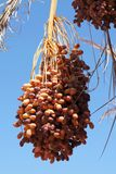 Ripe dates on the palm tree Royalty Free Stock Images